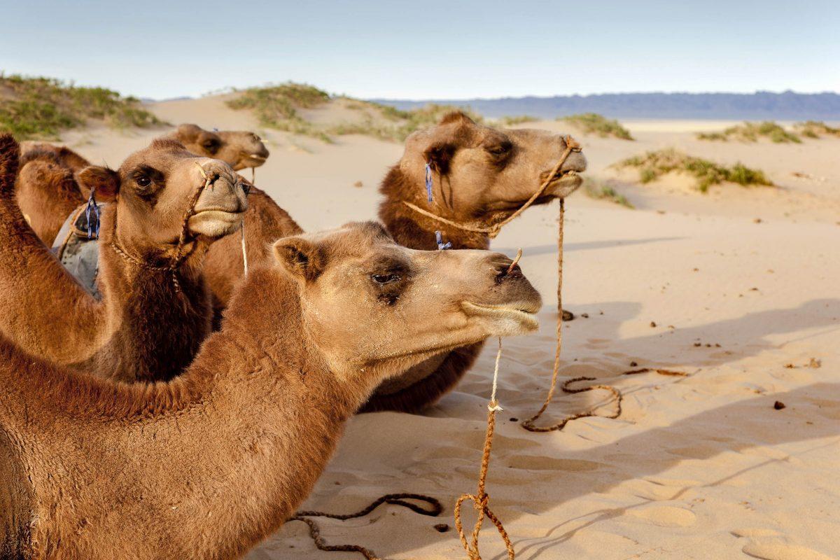 Neben Kamelen trifft man in der Wüste Gobi auch auf Gazellen, Trampeltiere, kleine Nagetiere und Schlangen - © jaume / Shutterstock