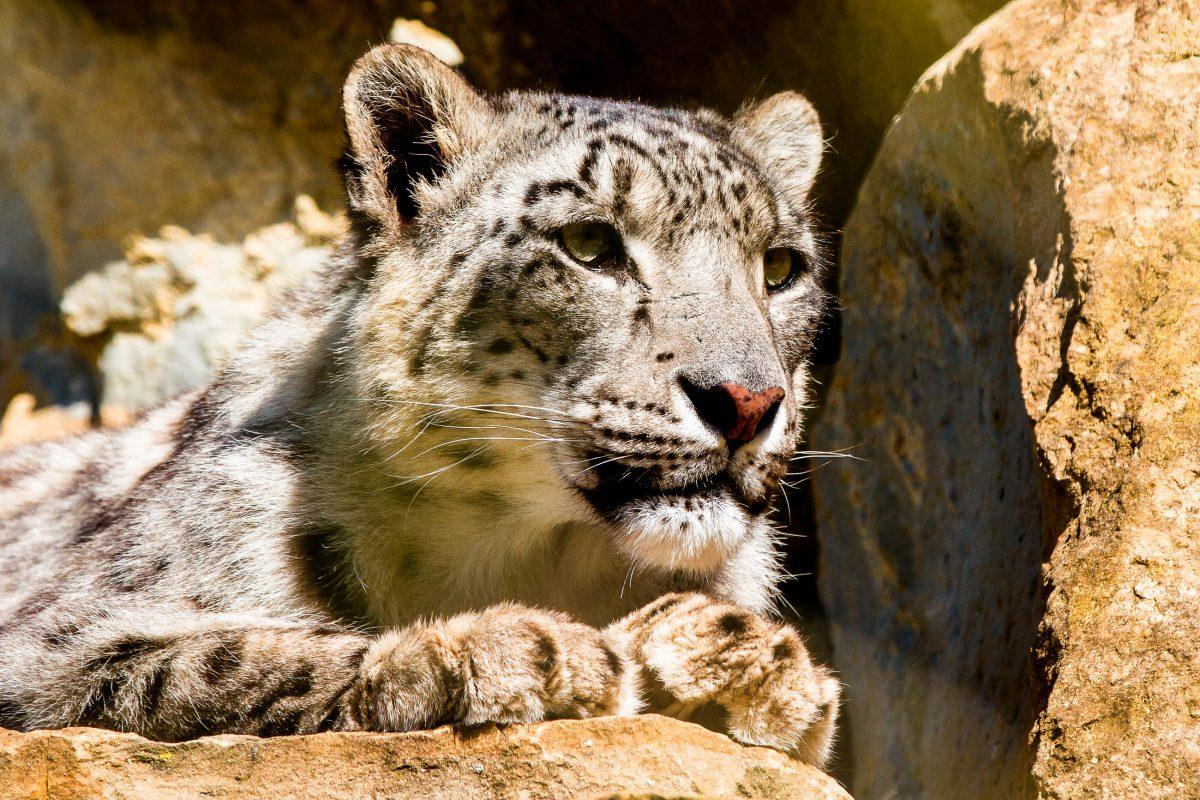 Schnee-Leopard im Nationalpark Gobi-Gurvansaikhan, Mongolei - © ellenamani / Fotolia