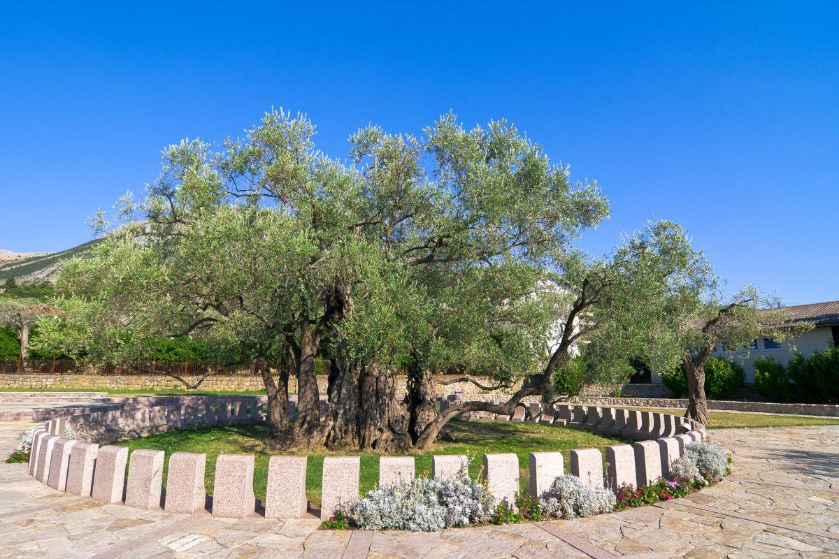 Der Ölbaum von Minovica in Bar im Süden Montenegros ist mit 2.300 Jahren wahrscheinlich der älteste Baum Europas - © MihaiRomeoBogdan/Shutterstock