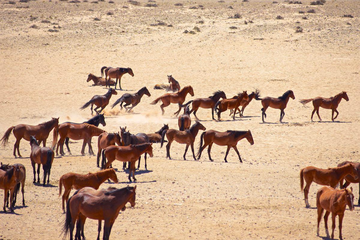 Die geheimnisvollen Wüstenpferde von Namibia können mit etwas Glück in der Nähe der Siedlung Aus gesichtet werden - © Hannes Vos / Shutterstock