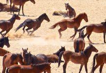 Die Herden der Wüstenpferde bestehen insgesamt aus 250 bis 300 Tieren und haben sich perfekt an das entbehrliche Leben in der Wüste angepasst, Aus, Namibia - © Hannes Vos  / Shutterstock