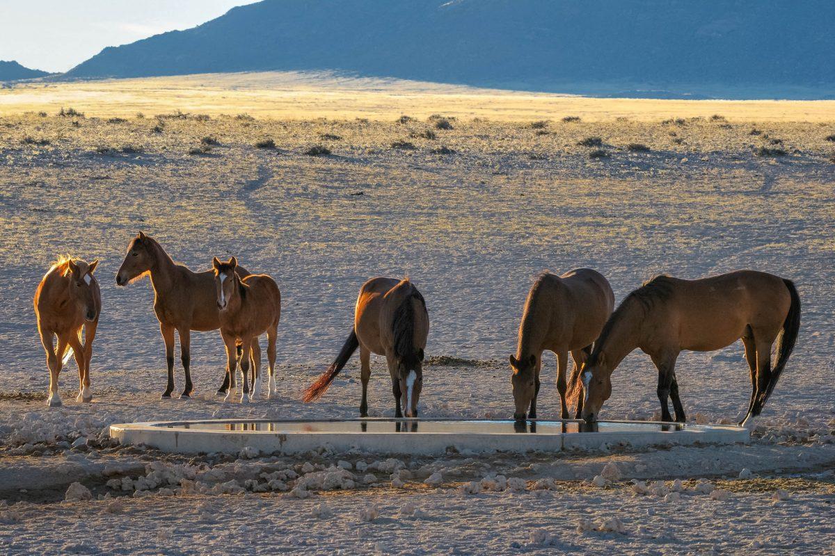 Wüstenpferde von Namibia am Garub-Wasserloch in der Nähe von Aus - © Grobler du Preez / Shutterstock