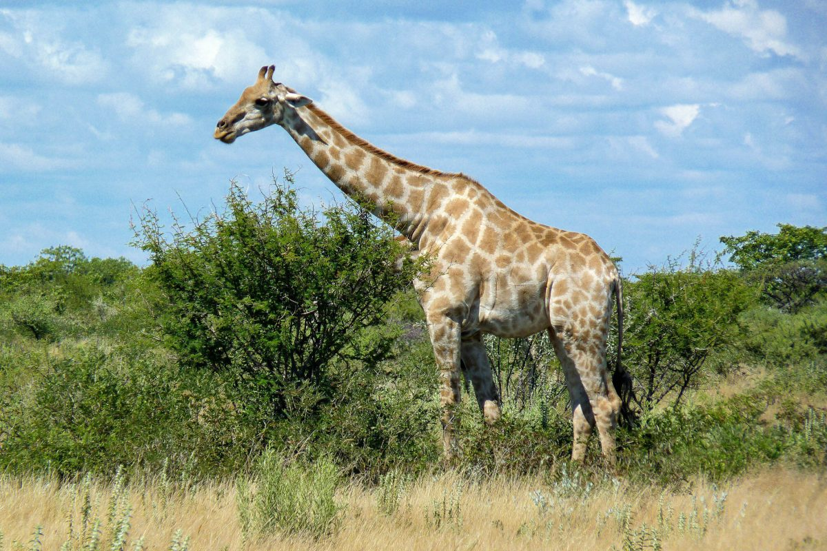 Im Etosha-Nationalpark in Namibia leben über hundert verschiedene Säugetier- und Reptilien-Arten, sowie an die 350 verschiedene Vögel - © FRASHO / franks-travelbox
