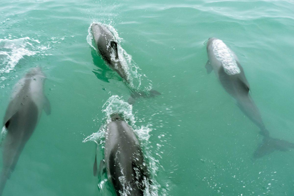 Delfine begleiten oft die Ausflugsboote in Walvis Bay, Namibia - © FRASHO / franks-travelbox