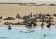 Eine Robbenkolonie in Walvis Bay, Namibia - © FRASHO / franks-travelbox