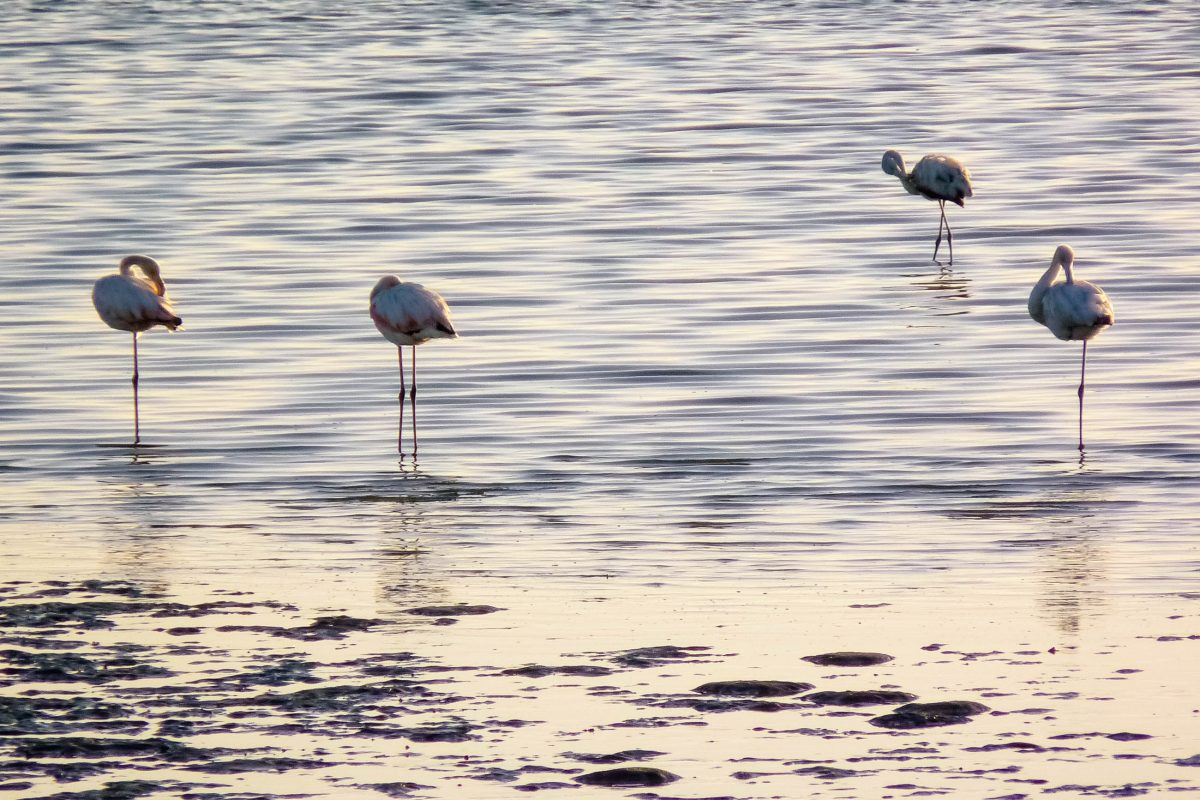 Flamingos auf der Suche nach Krebsen an der Küste von Walvis Bay, Namibia - © FRASHO / franks-travelbox