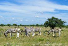 Zebras im Etosha-Nationalpark, dem größten und berühmtesten Nationalpark des Landes  im Nordwesten von Namibia in der Region Kunen, Namibia - © FRASHO / franks-travelbox