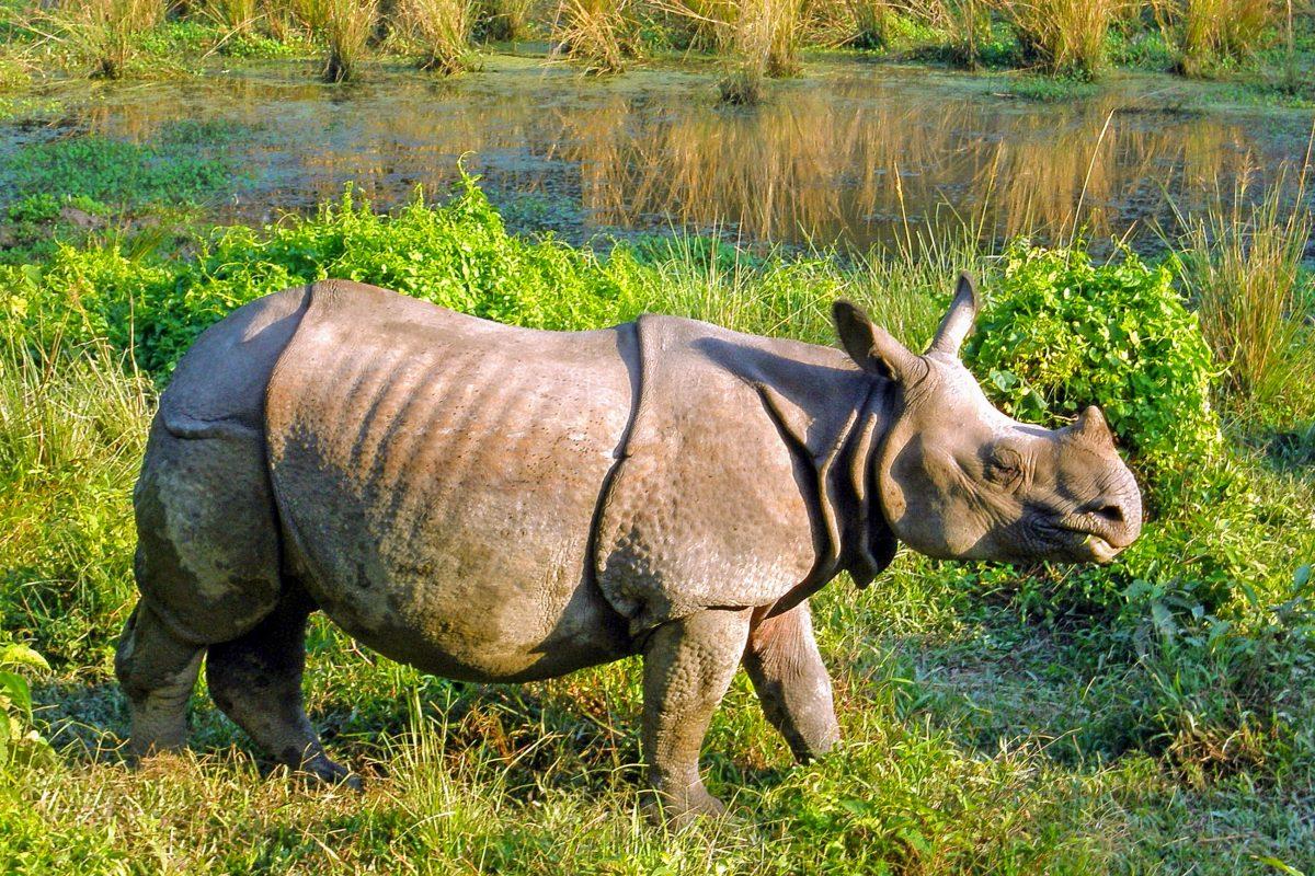 Das vom Aussterben bedrohte Indische Nashorn im Royal Chitwan Nationalpark in Nepal - © Gelia / Shutterstock