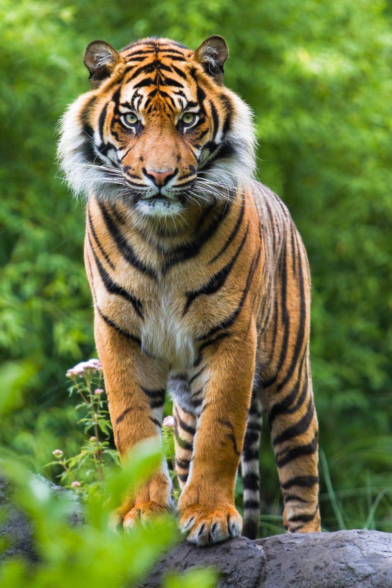 Der bengalische Tiger wurde im Royal Chitwan Nationalpark vor dem Aussterben bewahrt, Nepal - © Colette3 / Shutterstock