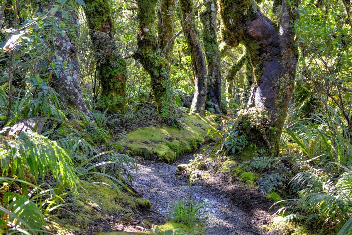 Ein kurzer Fußweg durch dichten Wald führt zu den auf rund 900 Metern gelegenen Dawson Falls im Mount Egmont Nationalpark, Neuseeland - © FRASHO / franks-travelbox