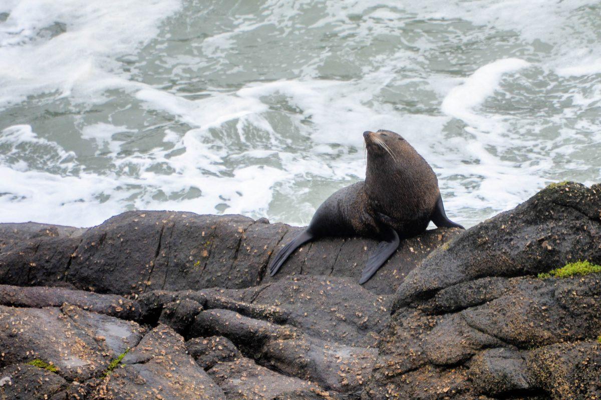 In der Tauranga Bay am Cape Foulwind hat sich eine Kolonie von rund 300 Pelzrobben dauerhaft niedergelassen, Neuseeland - © FRASHO / franks-travelbox