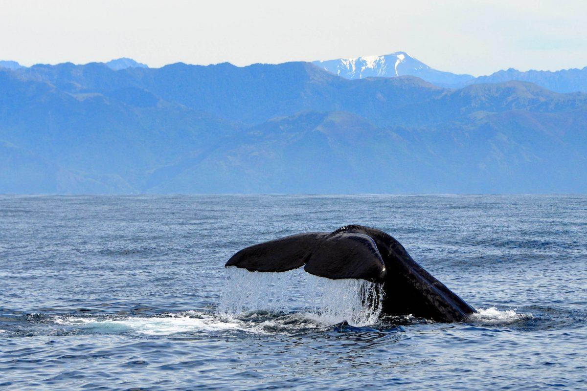 Das Schwimmen mit Delfinen und die Beobachtung von Walen haben aus der einstigen Walfang-Basis Kaikoura auf Neuseeland ein blühendes Touristen-Zentrum entstehen lassen - © FRASHO / franks-travelbox