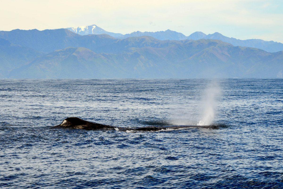 Die Wale vor der Küste von Kaikoura, Neuseeland, verraten dem begeisterten Publikum ihre Position mit haushohen Fontänen - © FRASHO / franks-travelbox