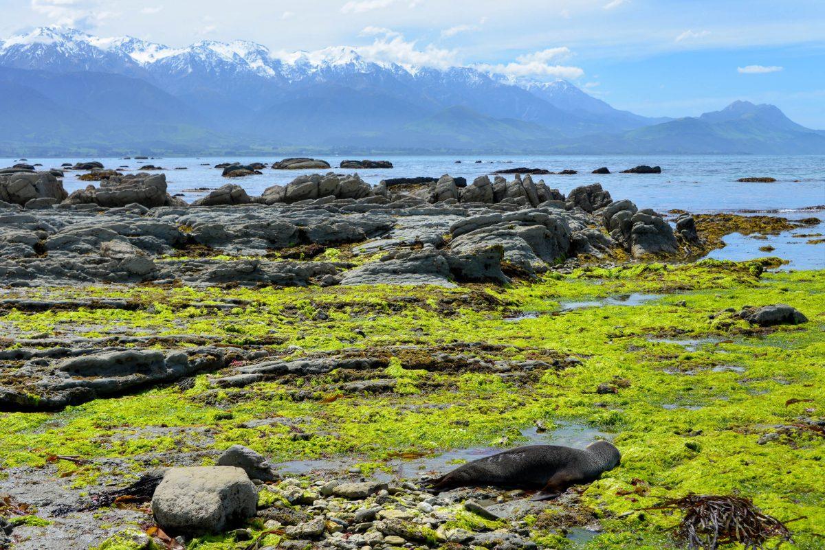 Mit ihrer zerklüfteten Küste und den schneebedeckten Gipfeln in der Ferne kann sich auch die Landschaft um Kaikoura sehen lassen - © FRASHO / franks-travelbox
