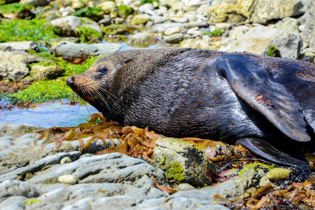 Robben, Seebären und Seeleoparden lassen sich an der Küste von Kaikoura auf der Südinsel Neuseelands die Sonne auf den Pelz scheinen - © FRASHO / franks-travelbox