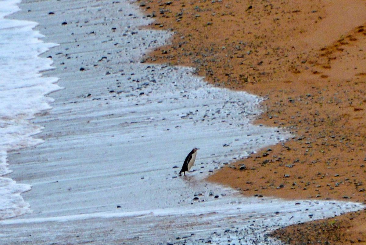 1,5km südlich von Oamaru kehren an der Südküste von Neuseeland jeden Abend Gelbaugenpinguine zu ihren Nestern am Strand zurück - © FRASHO / franks-travelbox