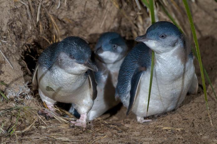 Der allabendliche Marsch der Pinguine von Oamaru, Neuseeland, zählt zu den größten Touristenattraktionen der Umgebung - © JJ Harrison CC BY-SA3.0/Wiki