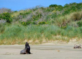 Seelöwen und See-Elefanten gehören zu den ständigen Bewohnern der Cannibal Bay in den Catlins, Neuseeland - © FRASHO / franks-travelbox