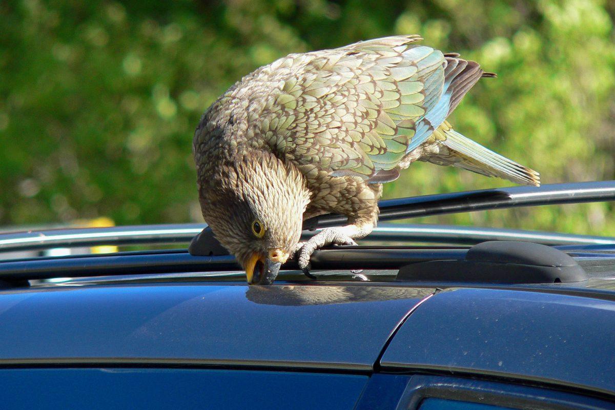 Sogar vor Autos machen die frechen Keas mit ihren spitzen Schnäbeln im Arthr's Pass Nationalpark nicht halt, Neuseeland - © Jens Bludau CC BY-SA3.0/Wiki