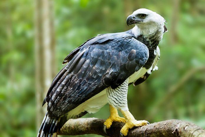 Die Harpyie, der größte und mächtigste Raubvogel der Wel, ist im Bosawas-Biosphären-Reservat in Nicaragua anzutreffen - © MarcusVDT / Shutterstock