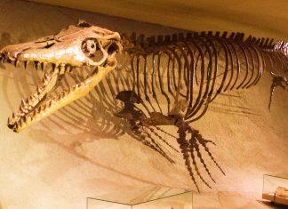 Hauptattraktion im Naturhistorischen Museum in Maastricht ist das gigantische Skelett eines urzeitlichen Mosasaurus, Niederlande - © Ghedoghedo CC BY-SA3.0/W