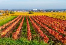 Der Herbst hat auch an der Weinstraße in Baden Einzug gehalten, Österreich - © Lila Pharao / franks-travelbox