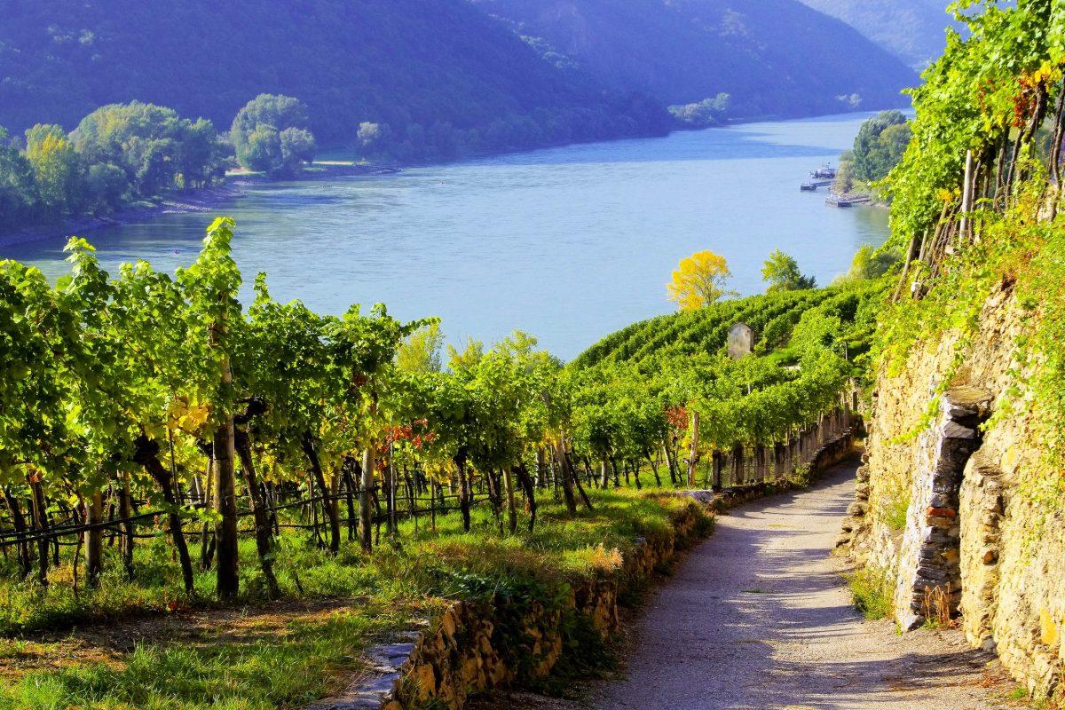 Die Donau schlängelt sich in der Wachau durch sanfte Hügel voller Weingärten, Österreich - © LianeM / Shutterstock
