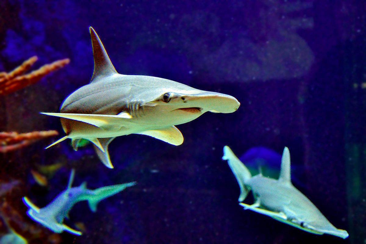 Die gefährlich aussehenden Hammerhaie bevölkern im Haus des Meeres in Wien ein Becken im 10. Stock des ehemaligen Flakturms, Österreich - © Günther Hulla
