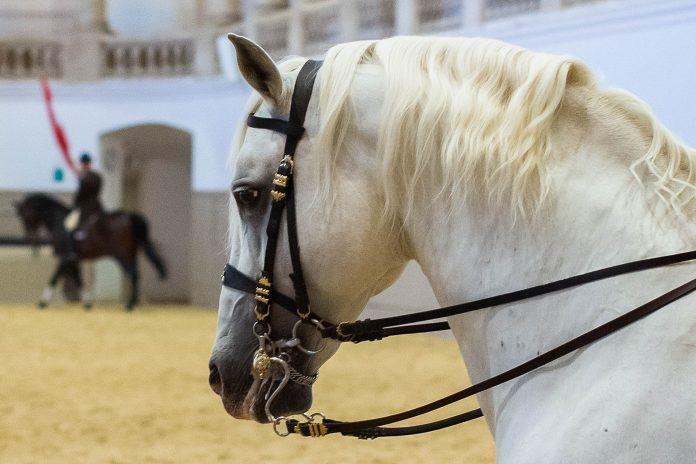 Die Spanische Hofreitschule in Wien ist die einzige Reitschule weltweit, die die klassische Reitkunst der Renaissance-Tradition aufrecht erhält, Österreich - © Julie Brass/Span.Hofreitschule