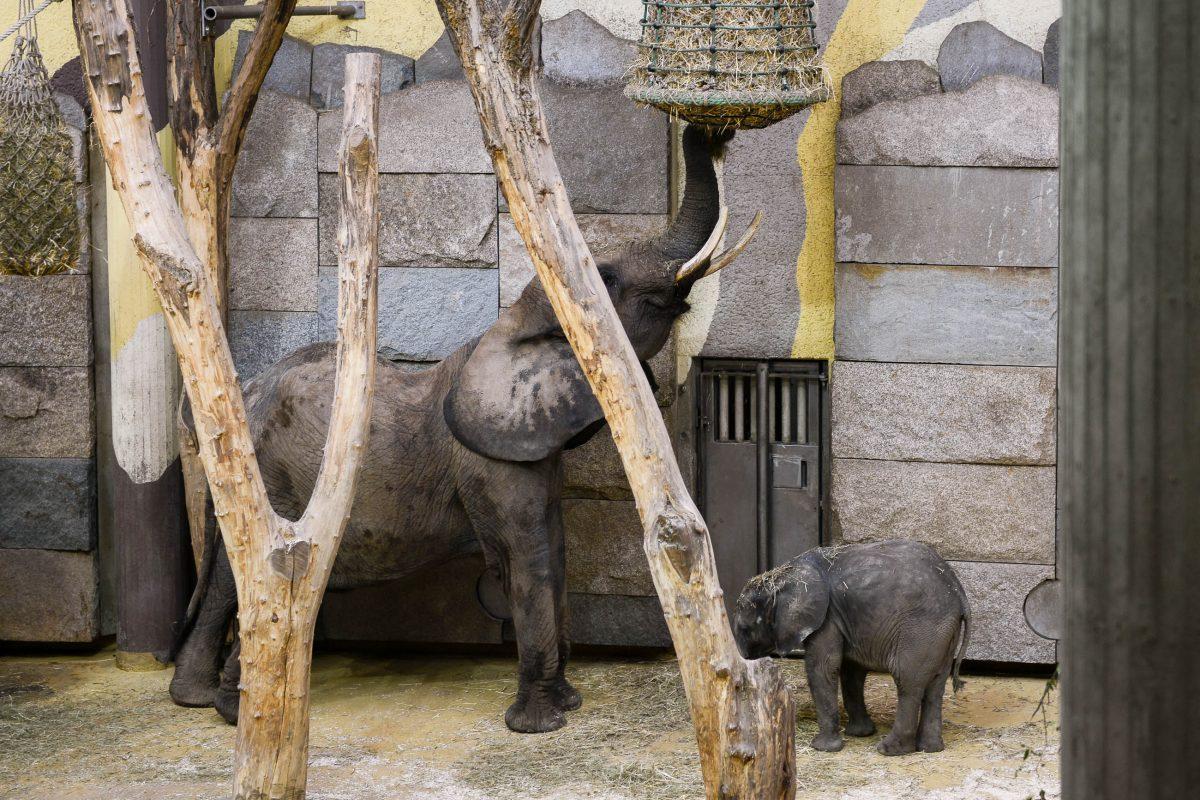 Elefantennachwuchs im Schönbrunner Tiergarten, wo 1906 das erste Elefantenbaby in Gefangenschaft geboren wurde, Wien, Österreich - © James Camel / franks-travelbox