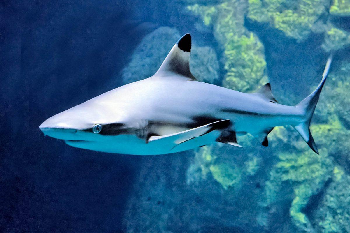 Im mit 300.000 Liter größten Aquariumbecken Österreichs im Haus des Meeres in Wien ziehen Schwarzspitzenriffhaie ihre Kreise - © Hans Novak