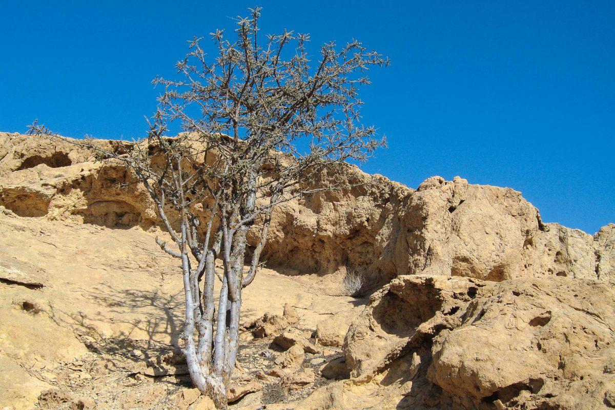 An die 5.000 Bäume wachsen im Wadi Dawkah, die noch mit derselben Methode wie vor 3.000 Jahren bewirtschaftet werden, Oman - © FRASHO / franks-travelbox