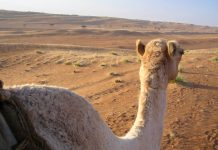 Auch eine Durchquerung der Ramlat al Wahiba auf dem Kamel wird angeboten. Ausgangspunkt dafür ist die Oase Al Mudayrib 20km vor Mintarib, Oman - © FRASHO / franks-travelbox