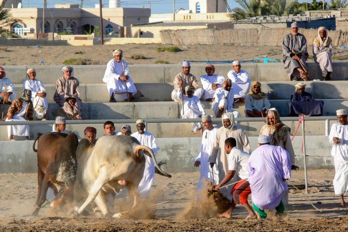 Die Stiere werden Nase an Nase aufeinander losgelassen und versuchen sich gegenseitig aus dem Weg zu schieben, Barka, Oman - © Lars Plougmann CC BY2.0/W