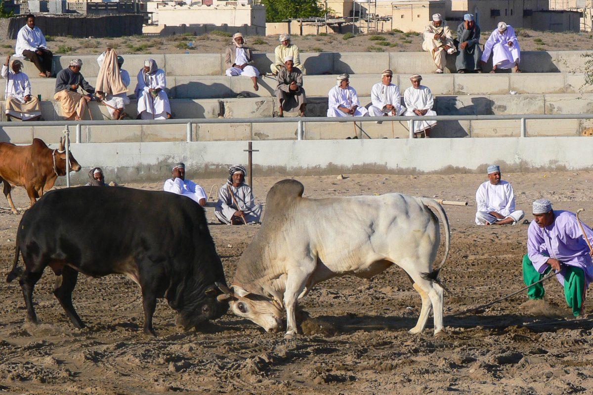 Im Winter zwischen November und März werden in Barka in der Batinah-Region im Norden Omans Stierkämpfe abgehalten - © Lars Plougmann CC BY2.0/W