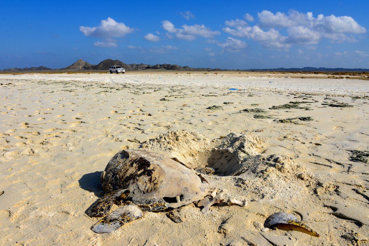 Die weltgrößte Population an unechten Karettschildkröten nistet jedes Jahr auf Masirah, Oman - © FRASHO / franks-travelbox