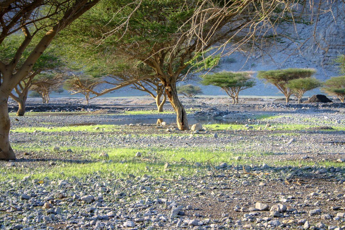 In der Ar Rawdah Bowl in den wilden Bergen Musandams gedeiht die größte Konzentration an Akazienbäumen im gesamten Oman - © Turki Al-Qusaimi / Shutterstock