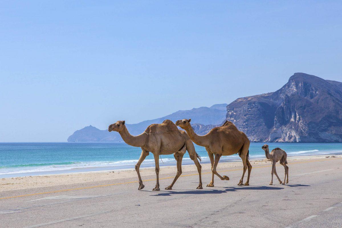 Auch Dromedare wissen die herrliche Kulisse des Mughsayl Strandes für einen Familien-Ausflug zu schätzen, Oman - © JurateBuiviene / Shutterstock