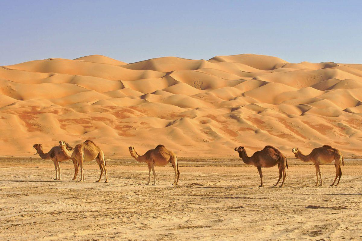 Sowohl Touristen als auch Omani durchstreifen die riesige Sandwüste Rub al-Khali auf dem Rücken von Dromedaren - © David Steele / Shutterstock