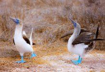 Ein Paar Blaufußtölpel auf den Islas Ballestas in Peru - © BlueOrange Studio / Fotolia