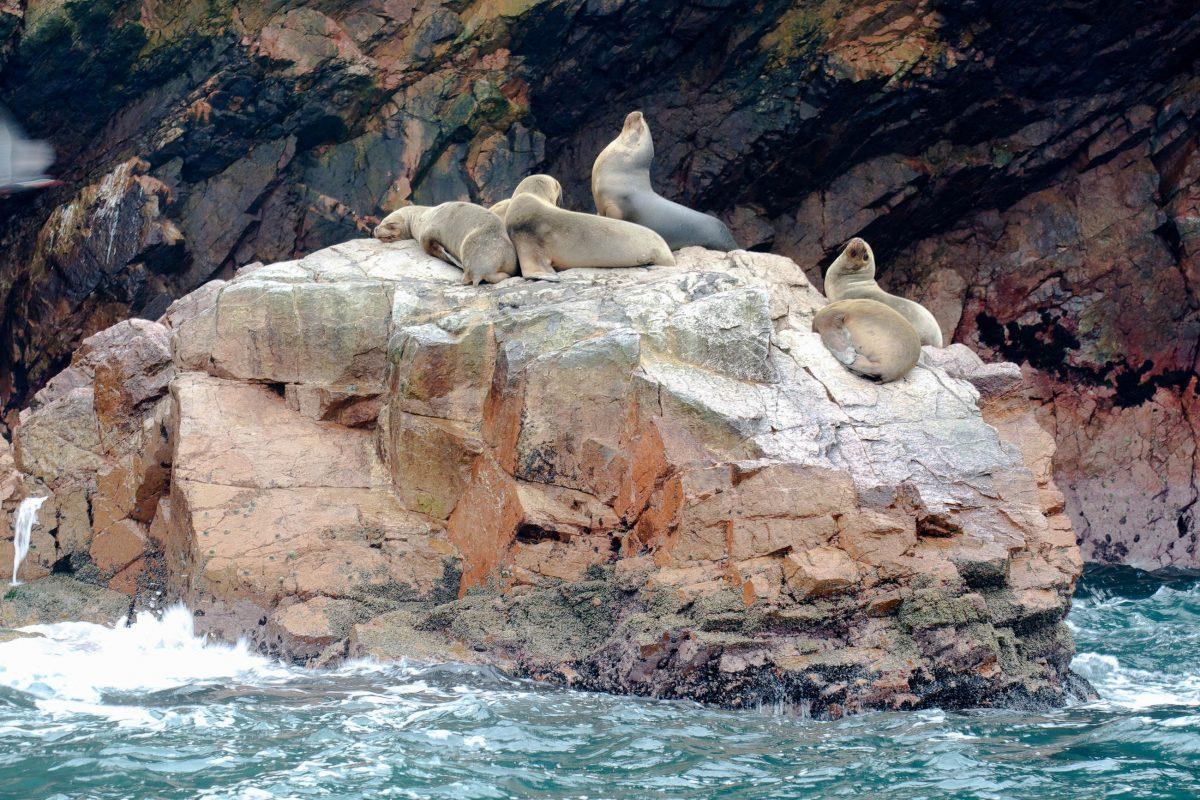 Seelöwen räkeln sich auf den rauen Felsen der Islasl Ballestas vor der Küste Perus und trocknen ihr Fell - © flog / franks-travelbox