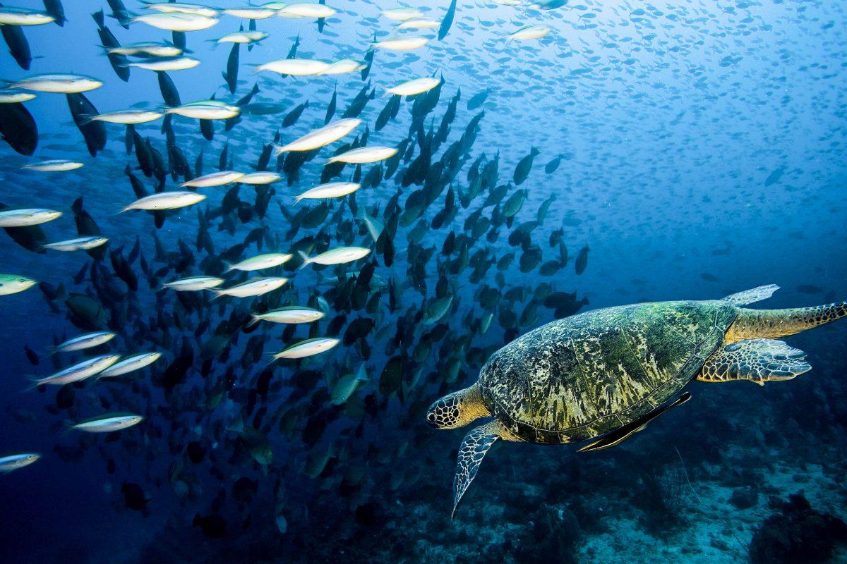 Echte Karett-Schildkröte im Tubbataha-Riff im im Südwesten der Philippinen - © Specta / Shutterstock