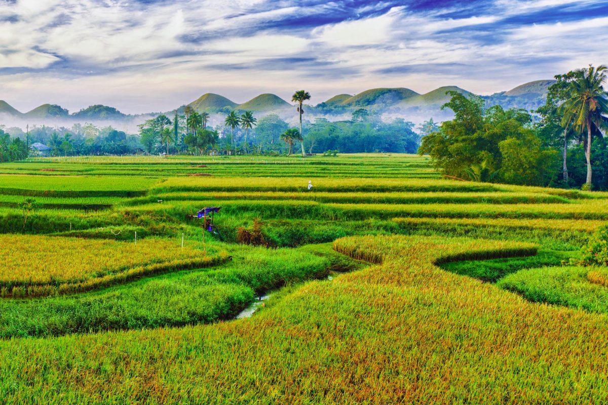 Panorama of the paddy rice field. Philippines - © Olga Khoroshunova - Fotolia