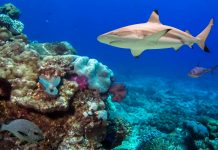 Schwarzspitzen-Riffhai im Tubbataha-Riff im Südwesten der Philippinen - © Ian Scott / Shutterstock