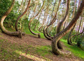 """Der skurrile """"Krumme Wald"""" erstreckt sich im Nordwesten Polens über eine Fläche von 2 Hektar - © seawhisper / Shutterstock"""