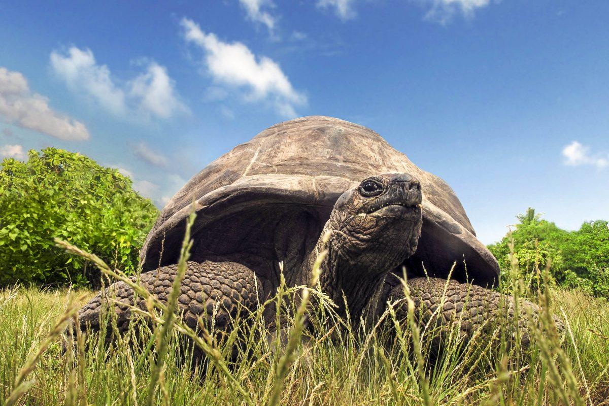 Auf der Insel Moyenne auf den Seychellen ist die weltweit größte Population an Aldabra-Riesenschildkröten heimisch - © Serge Vero / Shutterstock