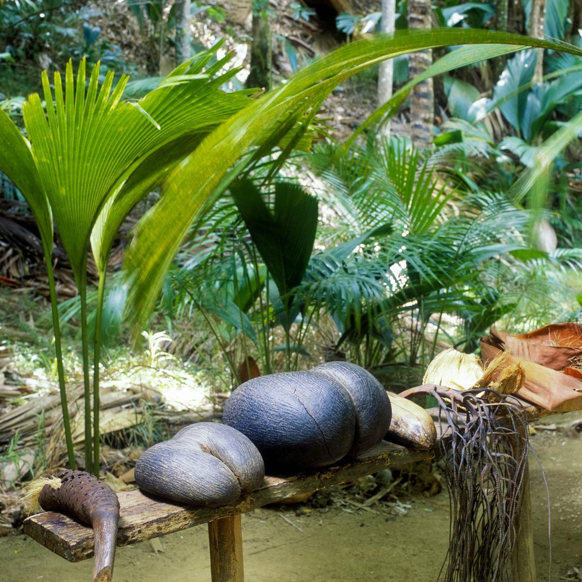 Die Samen der Seychellen-Palme (Coco de Mer) werden bis zu 20kg schwer, Vallée de Mai auf Praslin, Seychellen - © Richard Semik / Shutterstock
