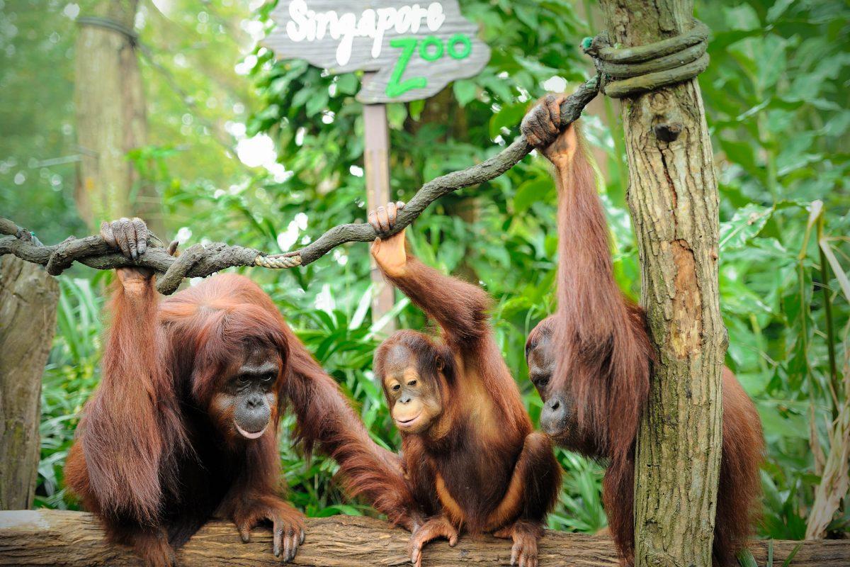 Eines der Highlights im Zoo von Singapur ist die Orang-Utan Kolonie, die weltweit größte Gruppe der haarigen Menschenaffen, die in Gefangenschaft leben - © tristan tan / Shutterstock