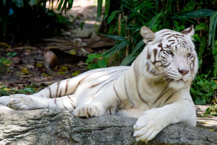 Weißer Tiger im Zoo von Singapur - © Cuson / Shutterstock
