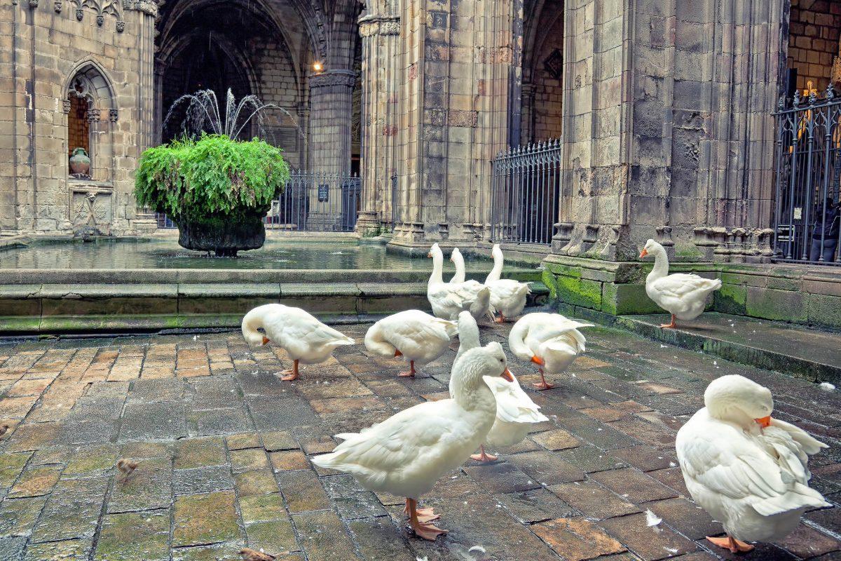 Seit dem Mittelalter leben Gänse im idyllischen Kreuzgang der Kathedrale von Barcelona, sie hielten früher durch ihr Geschnatter Diebe und Einbrecher fern und durften bis heute bleiben, Spanien - © Zastolskiy Victor / Shutterstock